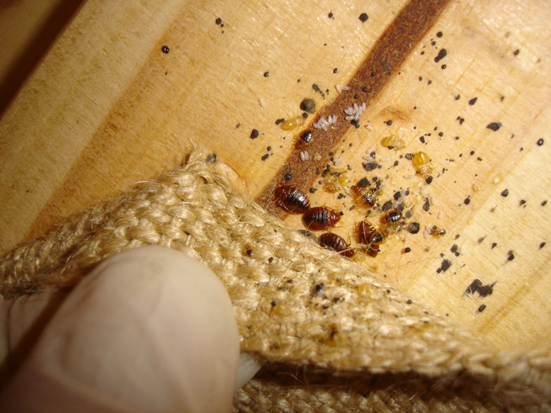 How To Kill Bed Bug Eggs In Hair